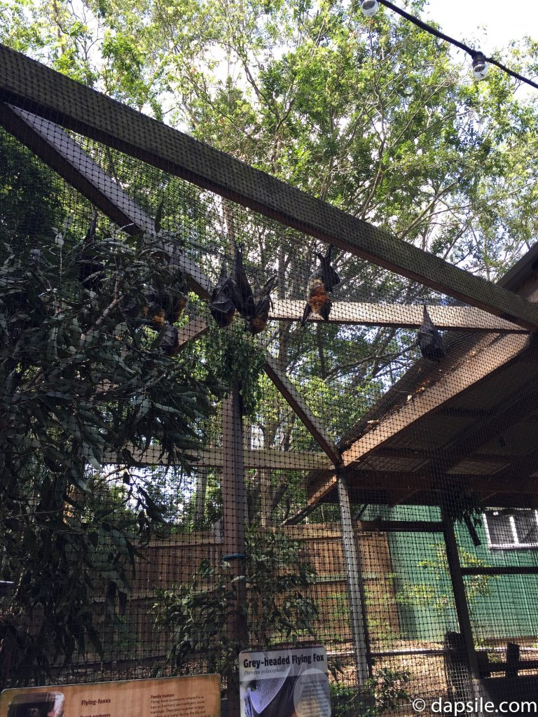 Flying Fox in Lone Pine Koala Sanctuary