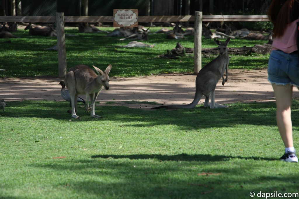 Kangaroos and the Kangaroo Rest Area