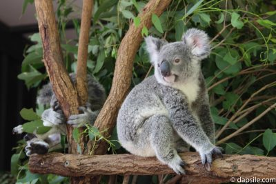 Koalas in a Tree at Lone Pine Koala Sanctuary
