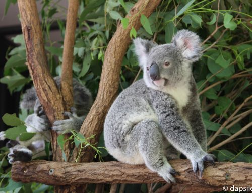 Lone Pine Koala Sanctuary, More Than Just Koalas
