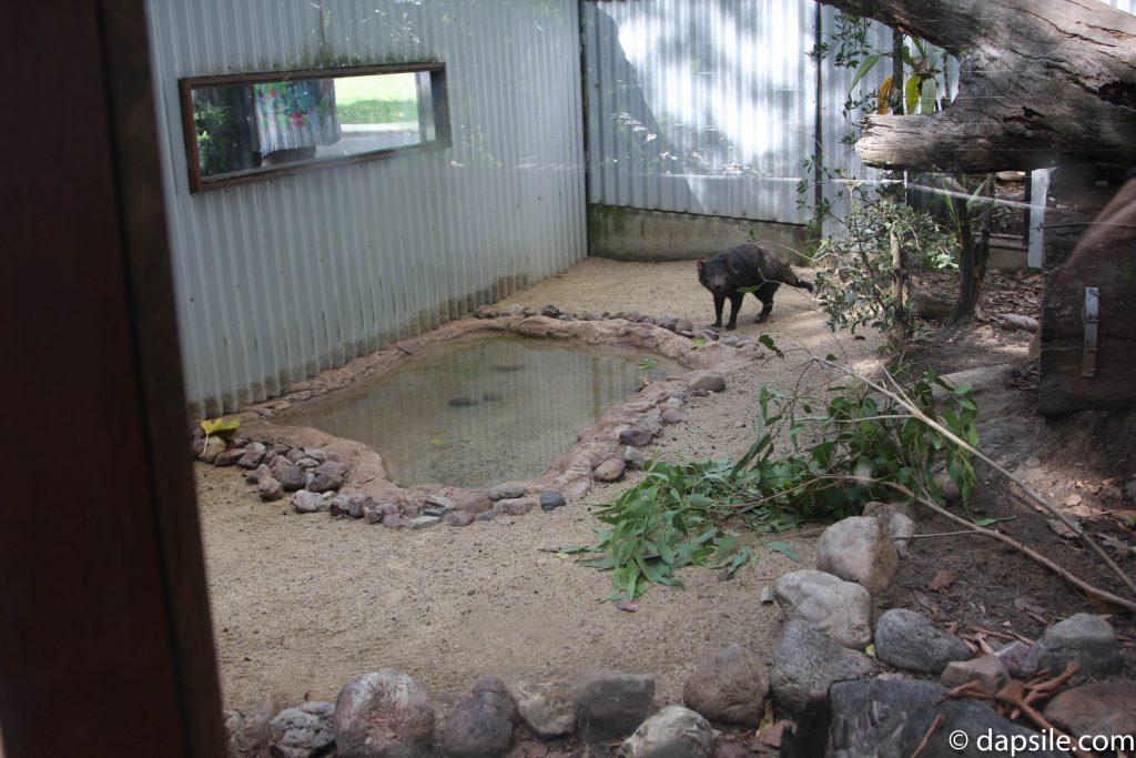Maybe a Tasmanian Devil at Lone Pine Koala Sanctuary